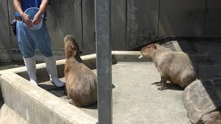 カピバラ (いしかわ動物園) 2019年8月18日