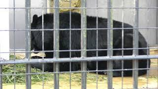 ニホンツキノワグマのコマチちゃん (野毛山動物園) 2017年12月16日