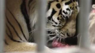 生肉を舐めるアムールトラ (多摩動物公園) 2017年9月23日