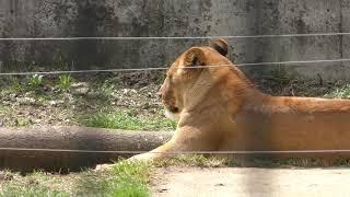 ライオン の『キング』と『プリンセス』 (盛岡市動物公園) 2019年4月12日