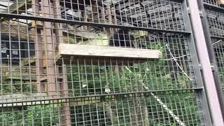 シロテテナガザル (多摩動物公園) 2017年8月27日