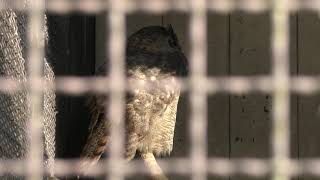 Great Horned Owl (Himeji city zoo, Hyogo, Japan) February 16, 2019
