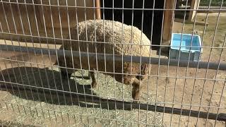 ヒツジ の『つかさ』 (和歌山城公園 動物園) 2018年12月24日