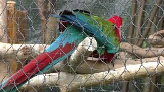 ベニコンゴウインコ と ルリコンゴウインコ (ときわ動物園) 2018年5月19日