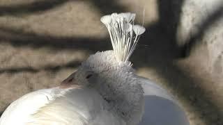 シロクジャク の『リョウ』と『スズ』 (須坂市動物園) 2018年11月3日