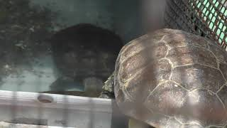クサガメ (智光山公園 こども動物園) 2018年7月22日