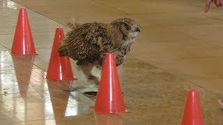 フクロウのフライトショー (こもれび森のイバライド) 2018年6月2日