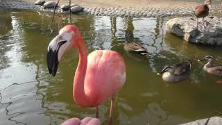 フラミンゴ (久留米市鳥類センター) 2019年4月19日