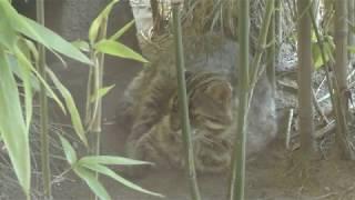 ツシマヤマネコ (井の頭自然文化園) 2018年9月9日