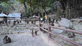 ニホンザル お芋の時間 (国立公園 高崎山自然動物園) 2019年12月4日