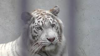 ホワイトタイガーの『シラナミ』 (宇都宮動物園) 2018年4月30日