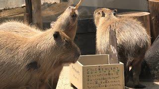 三つ子 の カピバラ (神戸市立 王子動物園) 2020年8月4日