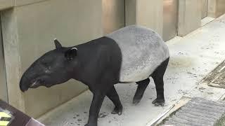 マレーバク の『フタバ』 (日本平動物園) 2018年8月5日