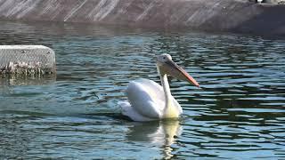 White Pelican (ADVENTURE WORLD, Wakayama, Japan) January 18, 2020