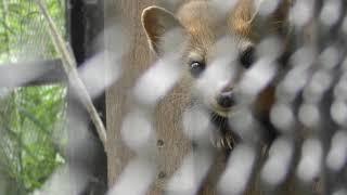 エゾクロテン の『てんてん』 (釧路市動物園) 2019年7月4日