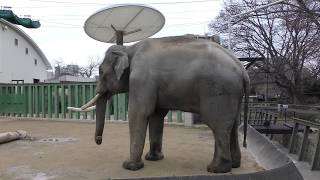 3頭の アジアゾウ (王子動物園) 2019年1月10日
