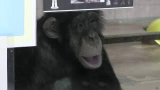 チンパンジー の『ミルキー』 (高知県立のいち動物公園) 2019年12月21日