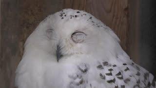 Snowy owl (Saitama Children's Zoo, Saitama, Japan) September 15, 2020