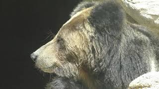 チベットヒグマ の『マー』 (王子動物園) 2018年9月16日