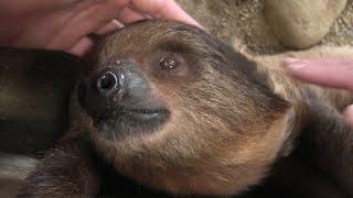 南米の森ミニツアー「フタユビナマケモノ」 (みさき公園) 2020年1月19日