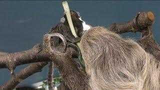 マーモセットにエサを横取りされるナマケモノ (那須どうぶつ王国) 2018年4月29日