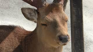 アカシカ (しろとり動物園) 2019年3月1日