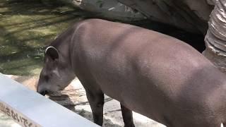 アメリカバク (神戸どうぶつ王国・熱帯の森) 2020年6月24日