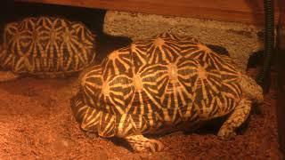 Indian star tortoise (Keikyu Aburatsubo Marine Park, Kanagawa, Japan) February 25, 2018