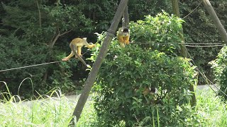 ボリビアリスザル (東武動物公園) 2020年9月18日