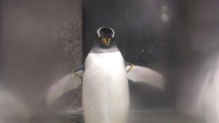 ジェンツーペンギン (福山市立動物園) 2019年2月25日