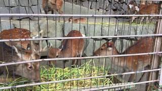 ニホンジカ/ヤクシカの食事タイム (多摩動物公園) 2017年8月27日