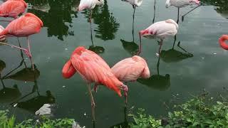 フラミンゴの休憩風景(東武動物公園) 2017年8月20日