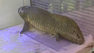 オーストラリアハイギョ (北里アクアリウムラボ ~ 北里大学海洋生命科学部ミニ水族館) 2018年11月30日