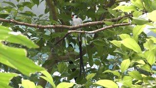 テンニンチョウ と ホウオウジャク (静岡市立 日本平動物園) 2019年9月29日