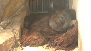 オランウータン の『王子ムム』 (神戸市立 王子動物園) 2019年5月24日
