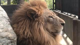 ライオン の『キズナ』と『サン』 (わんぱーくこうちアニマルランド) 2019年12月21日