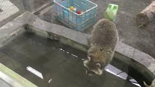 アライグマ『チャン』の食事タイム (円山動物園) 2018年2月12日