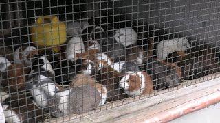 テンジクネズミ (智光山公園こども動物園) 2020年9月19日