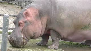 カバ の『ツグミ』 (京都市動物園) 2019年1月26日