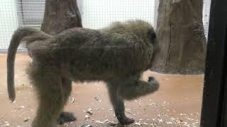 Olive baboon (Sapporo Maruyama Zoo, Hokkaido, Japan) February 12, 2018