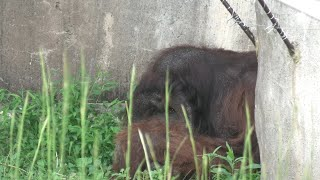 Bornean orangutan (Yokohama Zoological Gardens [ZOORASIA], Kanagawa, Japan) September 16, 2020