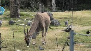 サバンナエリアのおやつタイム (天王寺動物園) 2019年11月20日