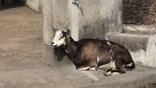 ヤギ (鹿屋市小動物園) 2019年12月10日
