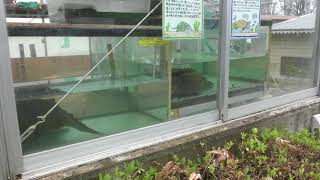 カミツキガメとワニガメ (茶臼山動物園) 2018年4月15日