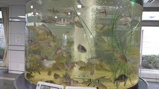東南アジアの川にすむ魚 (赤塚山公園 ぎょぎょランド) 2019年1月23日