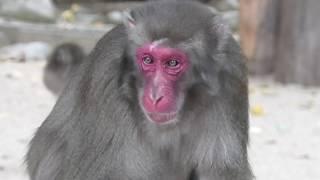 ニホンザルの餌付けの時間 16:20 (国立公園 高崎山自然動物園) 2019年12月4日