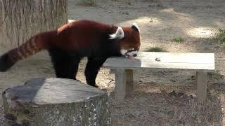 レッサーパンダの『ヤンヤン』 (仙台市八木山動物公園/セルコホーム ズーパラダイス八木山) 2018年1月20日