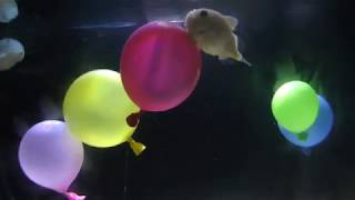 フウセンウオ (しながわ水族館) 2018年8月23日