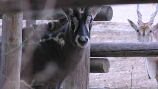 ローンアンテロープ (群馬サファリパーク) 2018年11月10日