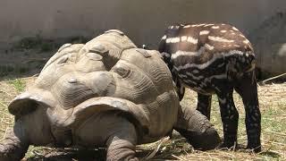 マレーバクの赤ちゃん『コト』 (東武動物公園) 2018年5月6日